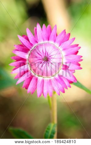 Close up pink straw flower with blur backgroundXerochrysum bracteatum commonly known as the golden everlasting or strawflower is a flowering plant in the family Asteraceae native to Australia.