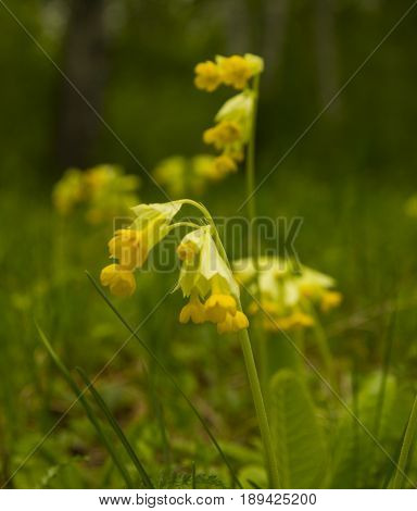 Primroses.Primula veris.Primroses in the spring forest in the afternoon