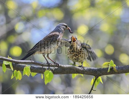 bird thrush feeding her little Chicks long pink worm on a tree in spring