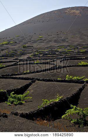 La Geria Wall Grapes Cultivation     Vine Screw  Crops