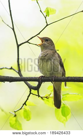 bird Nightingale sing loudly in spring forest