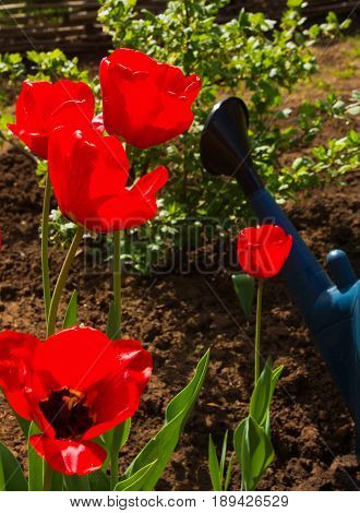 Tulips in the spring afternoon in the garden with a watering can in the background
