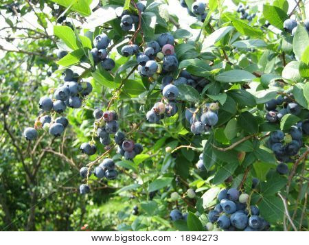 Fresh Maine Blueberries
