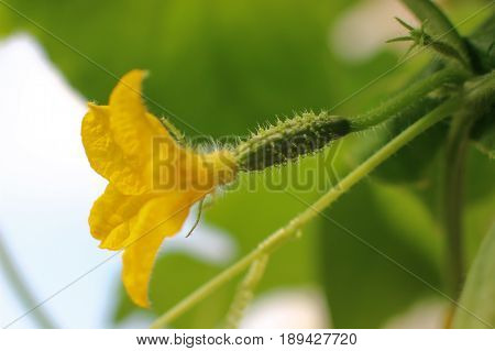 flowering cucumbers, young cucumbers, yellow flower, green plant, two small cucumber