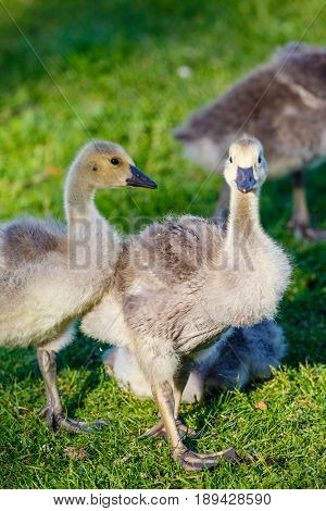 Vertical image of Canada Goose Goslings (branta canadensis) walking in green grass