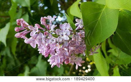 Spring branches with beautiful blossoming lilac flowers