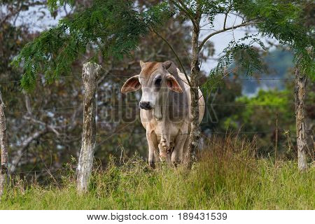 Young Cow In Costa Rica