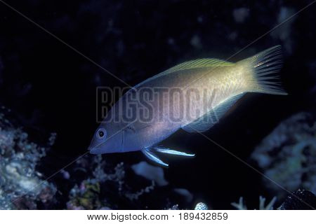 A Two Tone or Zig-Zag Wrasse, (Halichoeres prosopeion) on a coral reef in Palau poster