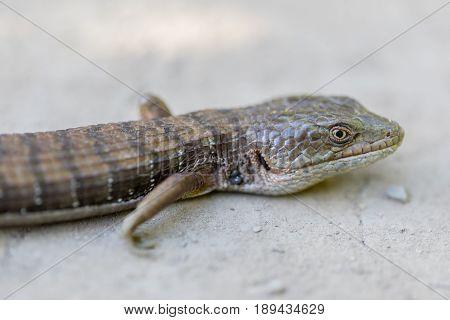 Adult California Alligator Lizard - Elgaria multicarinata multicarinata. Santa Clara County, California, USA.