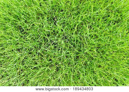 View on green Grass. Grassland. Growing Grass. Close-up of Baldes of Grass. Field full of Grass. Meadow