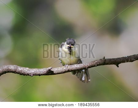 funny little chick tit sitting on a branch spreading its feathers and wings