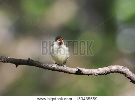 funny little chick tit sitting on a branch in spring Park