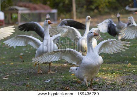 Geese in outdoor enclosure - hessen germany