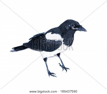 Young magpie chick isolated on white background