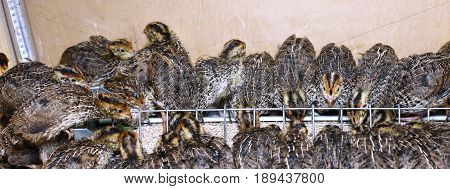 Many small quail chicks in brooder during feeding