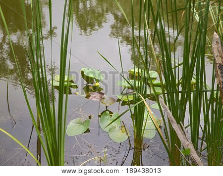 HRD lily pads & reeds in a pond