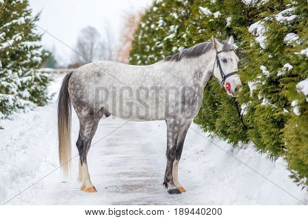 Purebred Gray Horse On A Background Of Green Firs In Winter