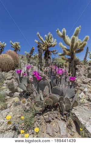 Beavertail Cacti, Barrel Cacti And Cholla Cacti - Anza-borrego State Park