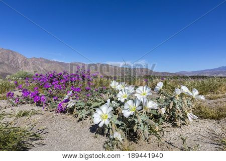 Dune Primrose And Desert Five-spot  Blooming In A California Desert