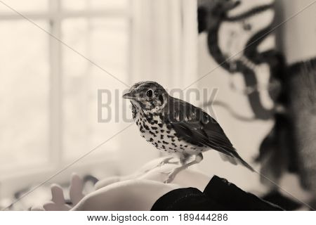 Young Song Thrush sitting on a human hands in a room near the window. Monochrome image selective focus on the bird's head.