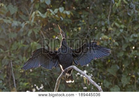 Anhinga Drying its Wings in Tortuguero National Park in Costa Rica