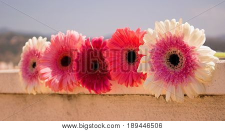 Five gerbers. Beautiful pink flowers. Summer panorama. Colorful bouquet.