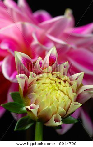 close up Dahlia rosa Blume