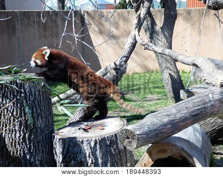 A Panda Bear from China attempting to get on a tree stump for some food.