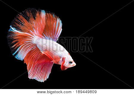 Capture the moving moment of red white siamese fighting fish isolated on black background. Dumbo betta fish