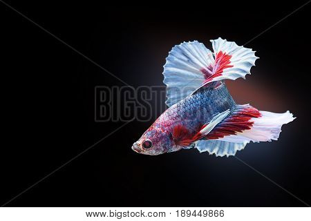 Capture the moving moment of red white siamese fighting fish on black background. Dumbo betta fish