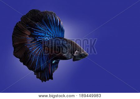 Capture the moving moment of black blue siamese fighting fish on blue background. Dumbo betta fish