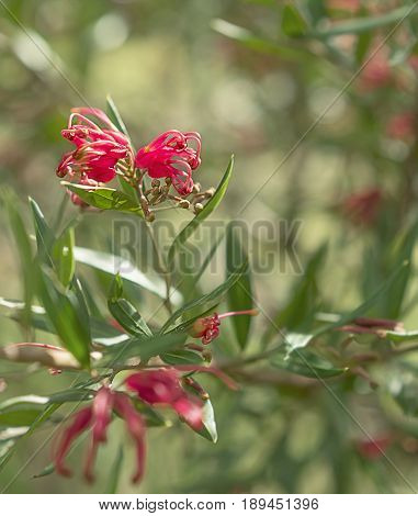Australian wildflower Grevillea splendour shrub with red spider flowers blooms in winter