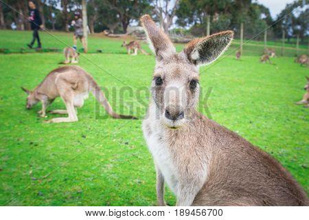 Australian Kangaroo in Phillip Island wild life park.
