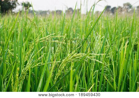 Young Rice Grain With Dewdrop And Insect Pest.