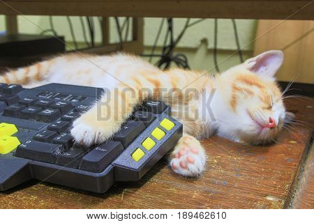 kitten orange sleeping on Keyboard use of technology computer. concept business