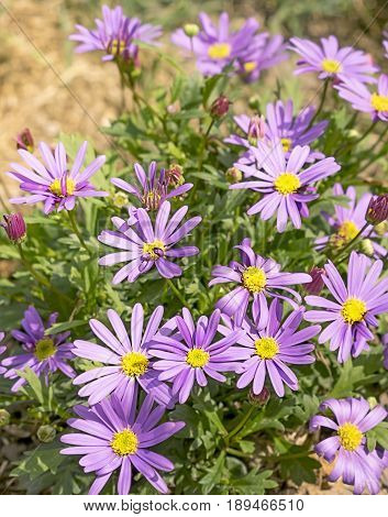 Western Australian wildflower Swan River Daisy or Brachyscome iberidifolia with abundant display of purple daisy flowers