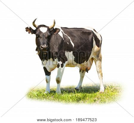 Spotted black and white cow full length isolated on white. Funny cute cow isolated on white. Cow standing full-length in front of white background and looking at the camera. Farm animals.