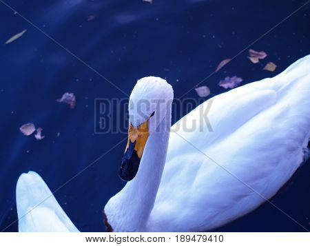 Mute swan waterfowl white nature lake water shore feathers fauna