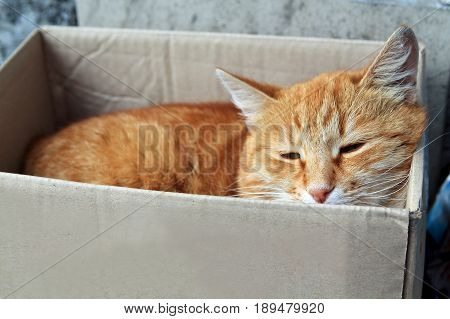 stray cat with unhappy face. alley red cat sleeping in paper box outdoors close-up portrait.