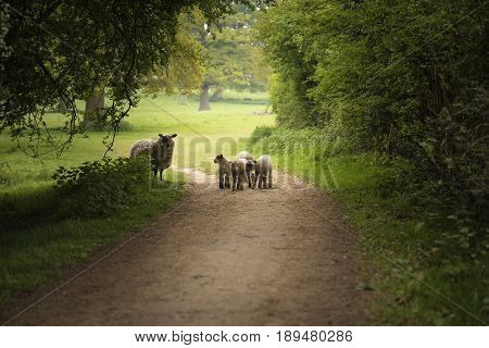 Beautiful Young Spring Lambs Playing In English Countryside Landscape