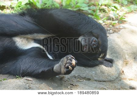 Malayan sun bear with his paw over his nose playing peekaboo.