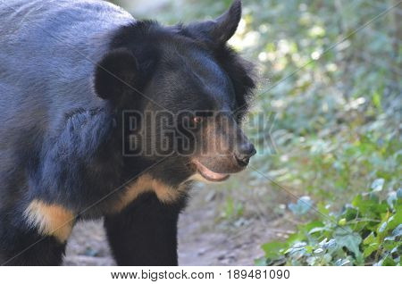 Side profile of a black Malayan Sun Bear.