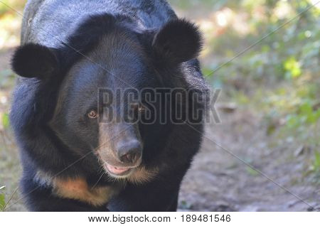 An up close look at a sun bear's face.