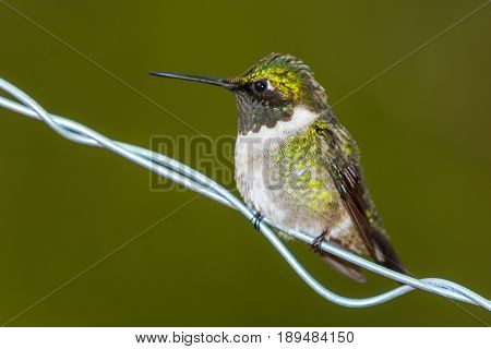 Ruby throated hummingbird (Archilochus colubris) perched on a wire