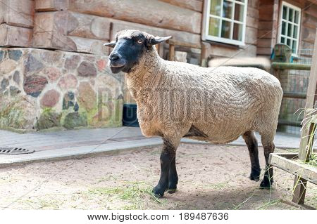 Purebred suffolk sheep standing in fold. Side view. Horizontal summertime outdoors image.