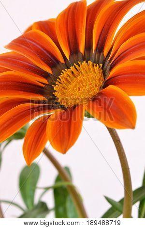 Orange and yellow gazania - flower macro