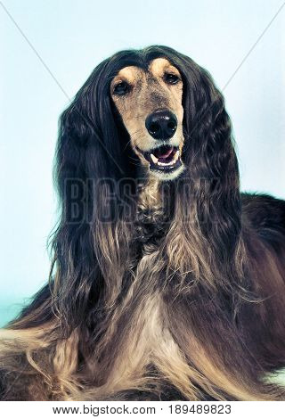 Portrait of Afghan hound dog with long hair, Smiling, on a light blue background in the studio.