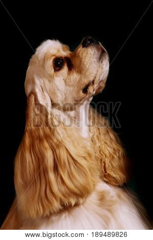 Portrait of an English Cocker Spaniel dog looking up in close-up, Isolated on a black background