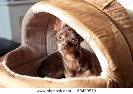 Regardant eyes of small brown toy-terrier dog in pet house. Indoors.