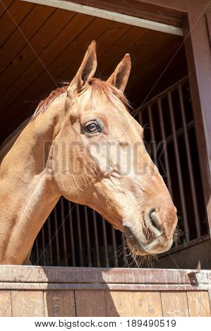 Thoroughbred champagne color in window of stable horse portrait. Multicolored summertime outdoors image.